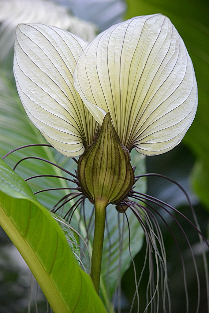White Bat Flower Parachute Of The Plant World There It Flickr