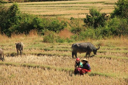 Buffalo, Myanmar