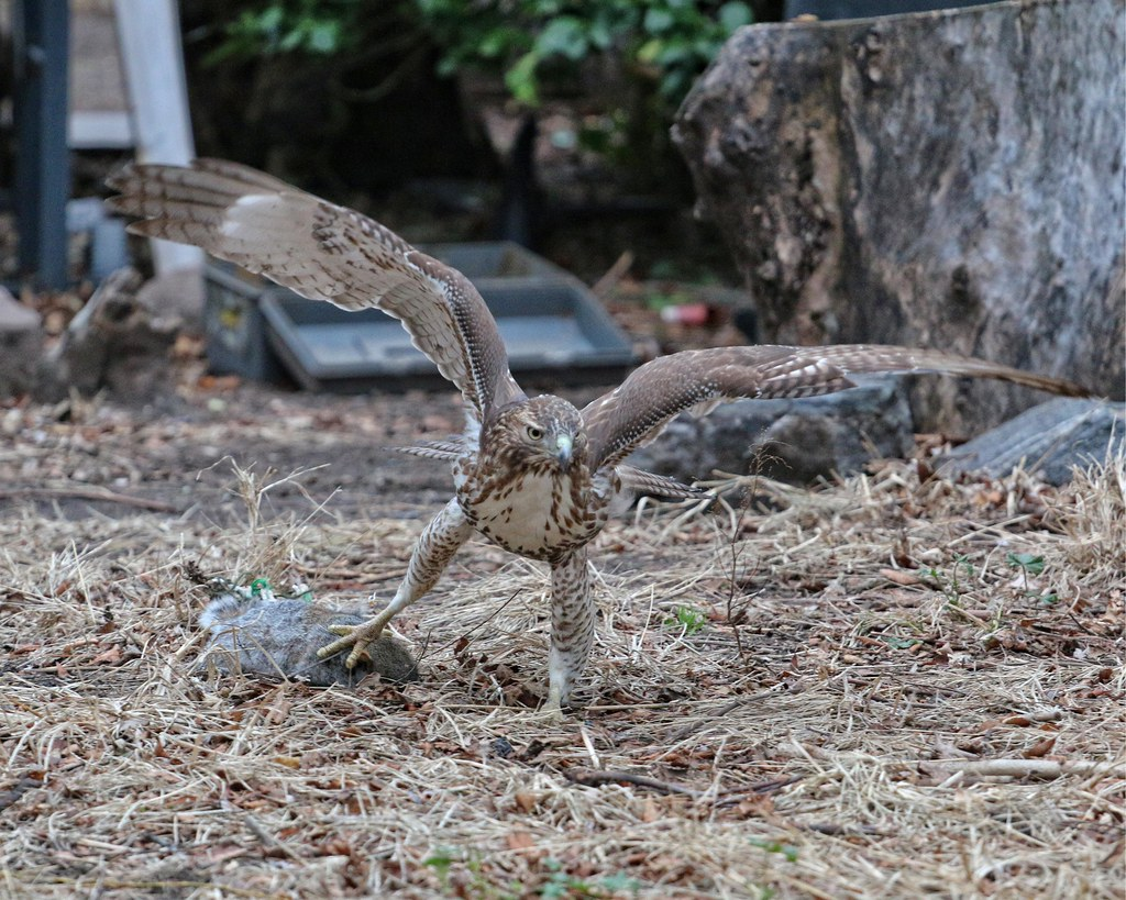 Juvenile red-tail dragging squirrel