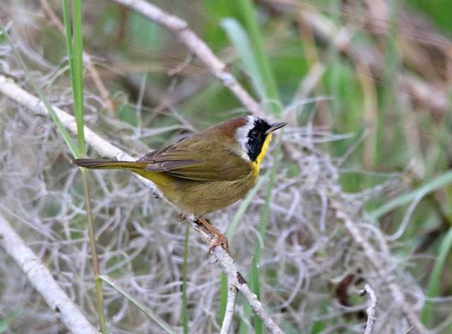 COMMON YELLOWTHROAT Warbler - male