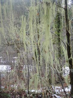 Long lichen