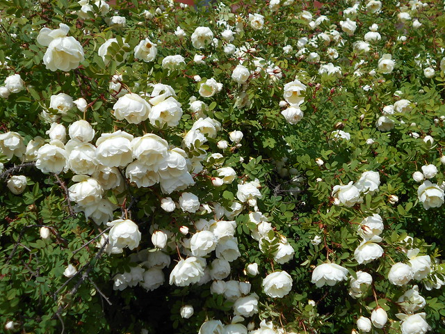"""Juhannusruusun (Rosa pimpinellifolia """"Plena"""") kukinta19.6.2015 Hämeenlinna"""
