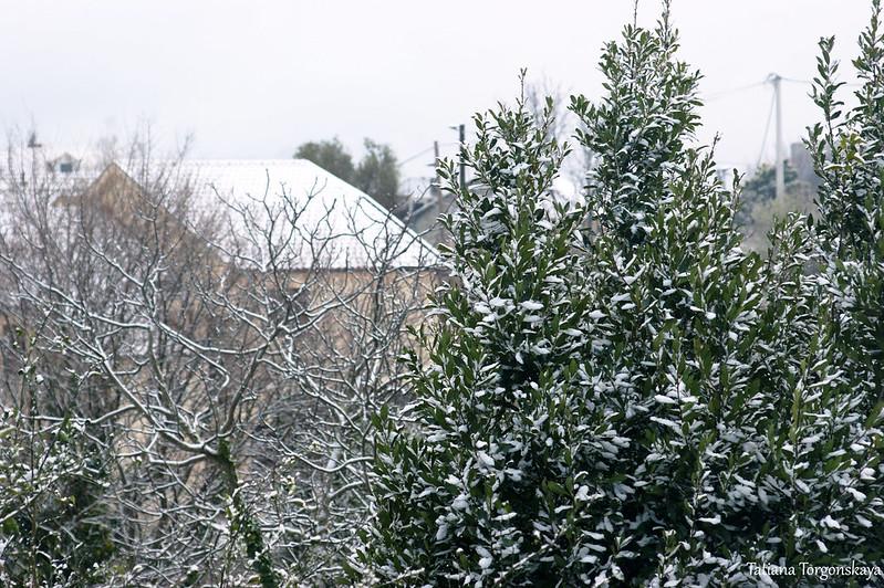 Лавр в снегу