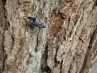 Nuthatch by Penny O'Connor