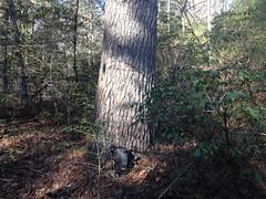 Pretty Big Pine Tree