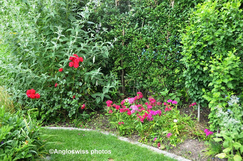Roses and Sweet William in Garden