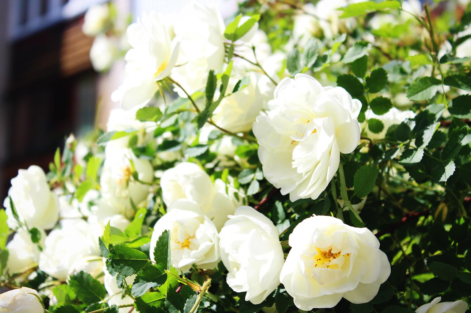 bush-roses