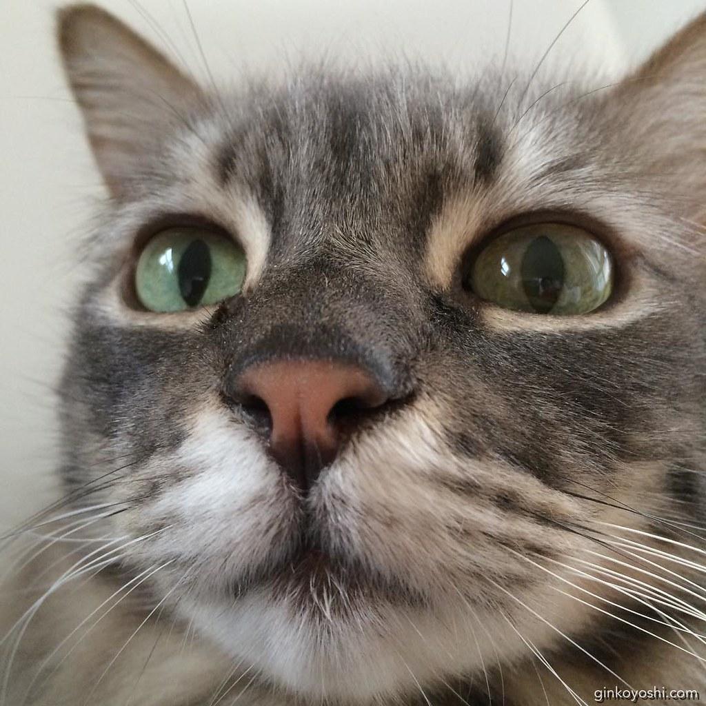 Oh Hai! Good Morning Yoshi XD #closeup #derp #cat #lolcat