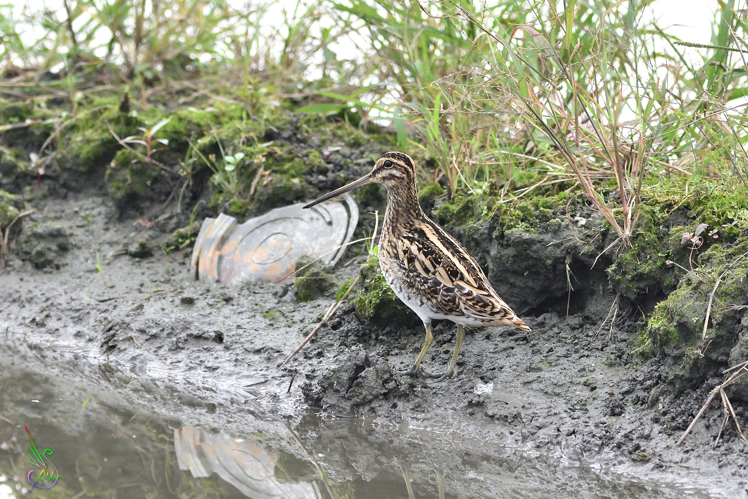 Common_Snipe_6242