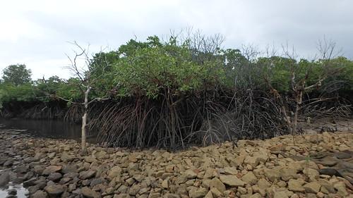 Dead mangrove trees at Pulau Semakau
