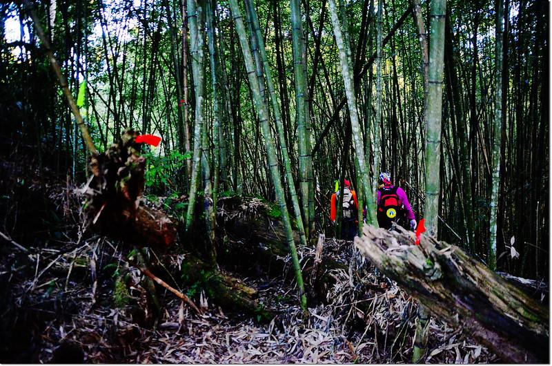卓武山的北稜鞍部竹林