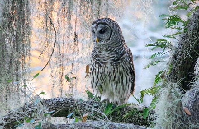 Evening BARRED OWL
