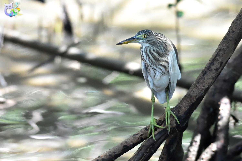 Javan_Pond_Heron_2032