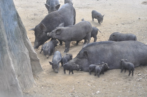 Mama Pig and Her Litter (Avilon Zoo)