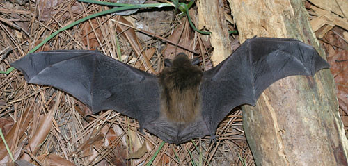 Big Brown Bat This Rather Large Circa 10 12 Inch 25 31