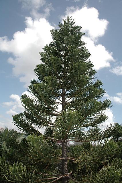 Christmas Tree Norfolk