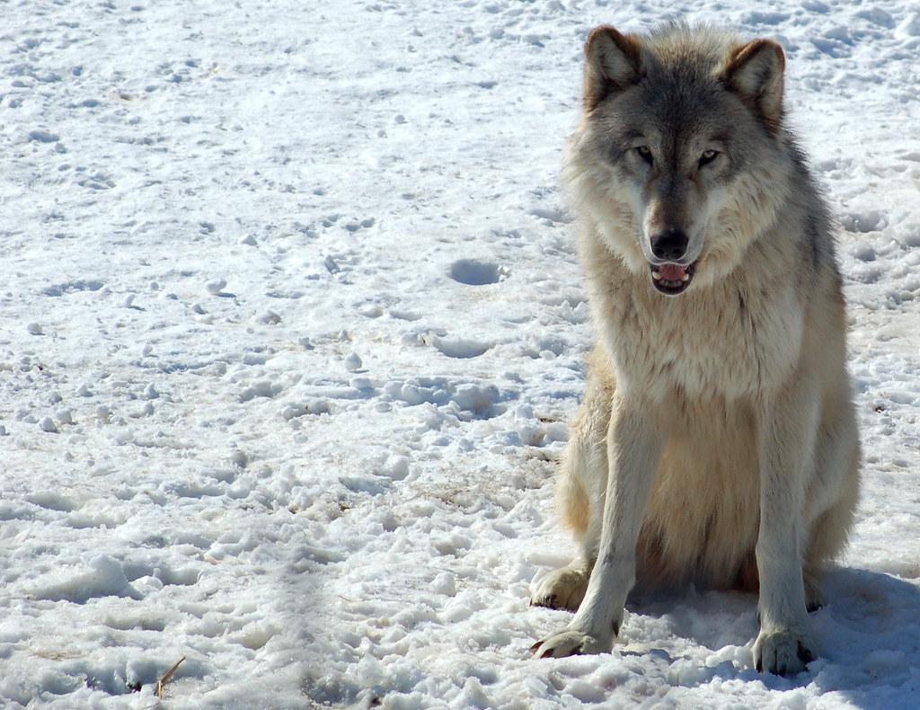 Steppe wolf - Wikipedia