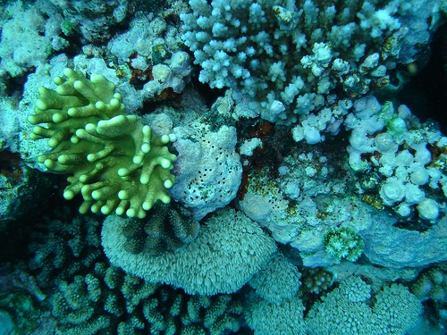 Coral, North Horn, Coral Sea Great Barrier Reef, Australia_1.jpg | by gruntzooki