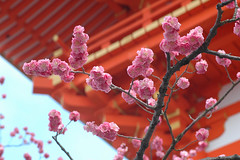 japanese cherry blossoms | by yasmin 123