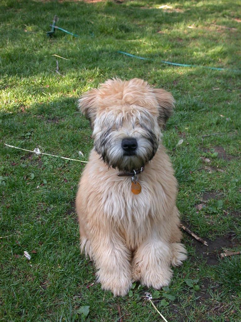 soft coated wheaten terrier haircut photos diesel soft puppy soft coated wheaten terrier 20 lbs at this point