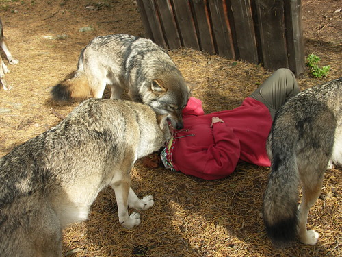 Wolf Eating Human