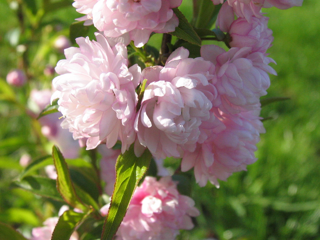 Pink Flowering Almond Bush This is the first year this has…