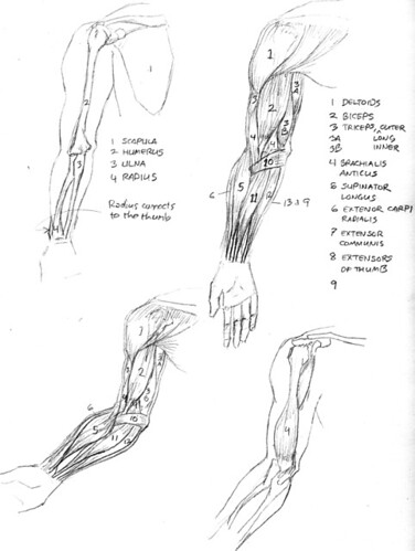 2006-anatomy-arms | Arm anatomy sketches after Andrew Loomis ...