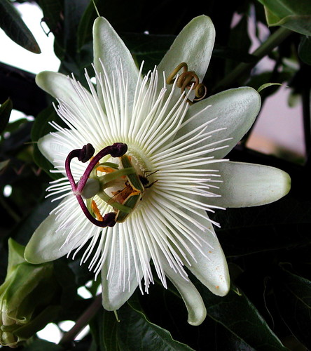 passion flower and bee buddy | by Velveteen Swirl