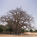 Baobab tree, in Ndiaganiao, Senegal