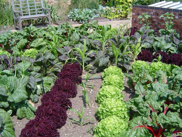 Salads in the Vegetable Inspirations garden