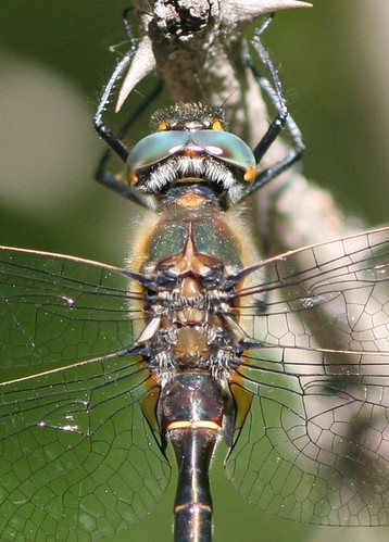 Dragonfly Macro | by Angie in MN