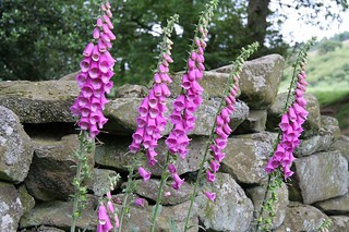 Foxgloves | by Alastair Rae