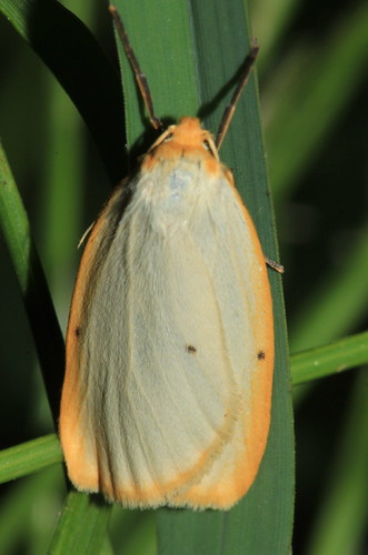 Four Spotted Footman 9483