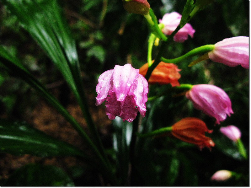 野生蘭花-鶴頂蘭 2