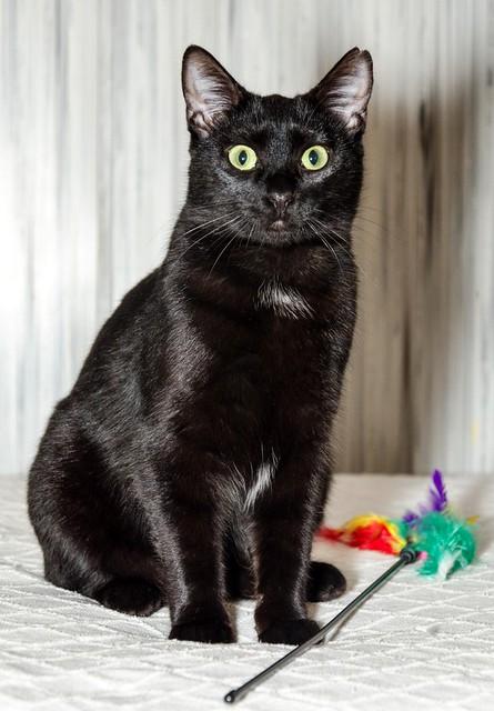 Morgana, gatita negra monísima, juguetona y tímida esterilizada, nacida en Julio´16, en adopción. Valencia. ADOPTADA. 32717417551_eefffd72c4_z