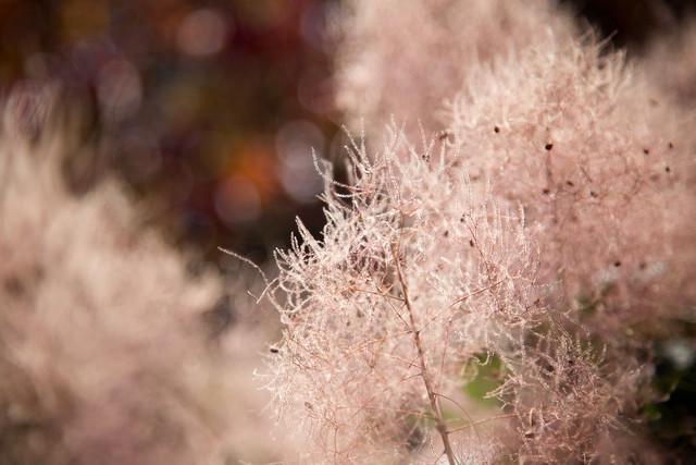 Garden - Pink Muhly Grass