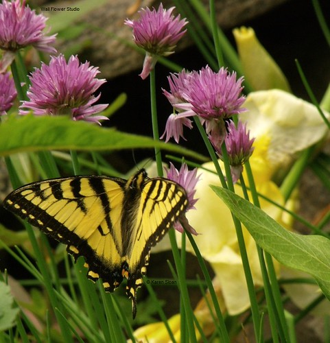 Swallowtail #butterfly on the chives in the rock garden | by Karen @ Wall Flower Studio