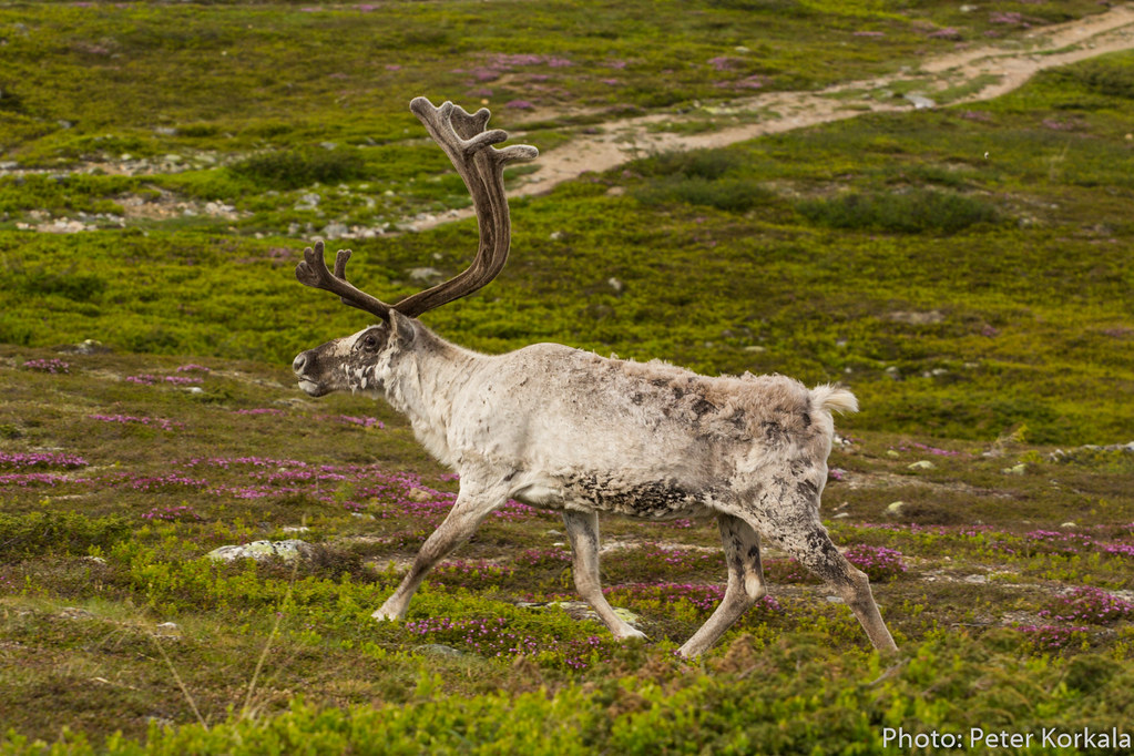 Raindeer on Nipfjället