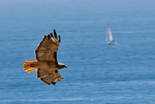 Hawk-20150620-14