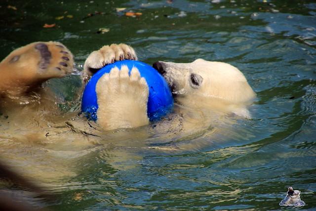 Eisbär Fiete im Zoo Rostock  251