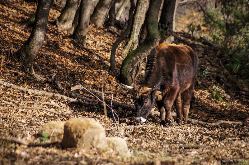 Una vaca de la Albera en el bosque cercano al Castillo de Requesens