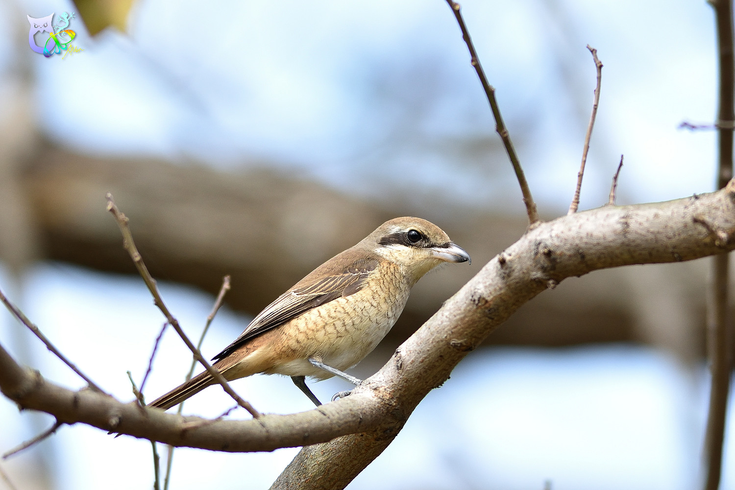 Brown_Shrike_9580