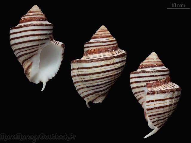 Opeatostoma pseudodon - (Burrow, 1815) 32286435565_acaa86b737_z