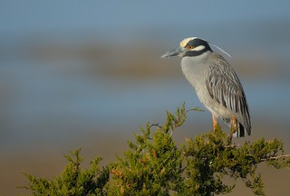 Yellow Crowned Night Heron | by Mark Schwall