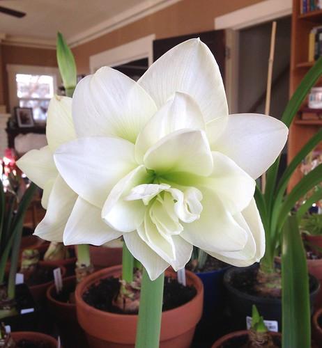 Alfresco amaryllis