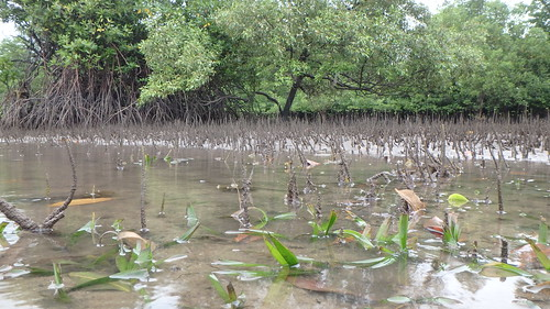 Cropped Tape seagrass (Enhalus acoroides) in mangroves of Pulau Semakau