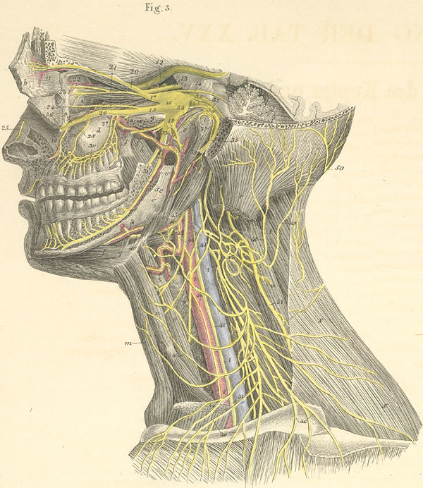 25 3 Deep Nerves Of The Head And Neck Left Side Flickr