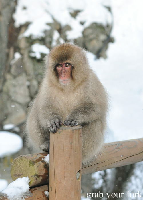 Snow monkey in falling snow at Jigokudani Monkey Park, Nagano