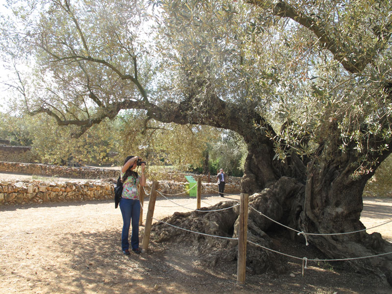 4. the oldest olive tree according to studies carried out by researchers at the Universidad Politécnica de Madrid