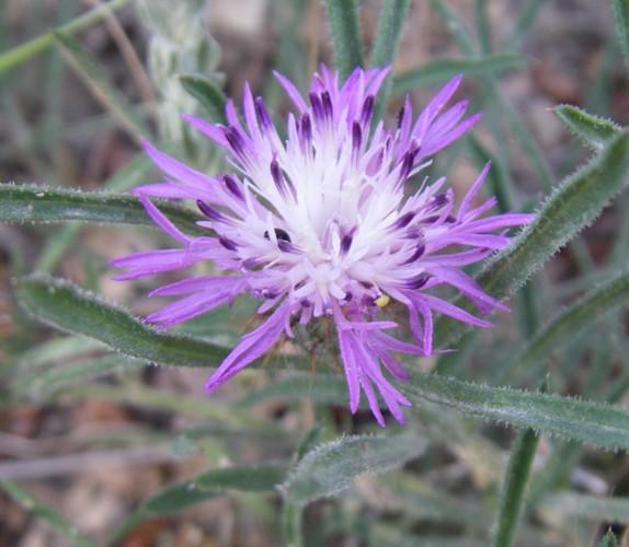 Centaurea linifolia 18052317633_5ff81477c1_o